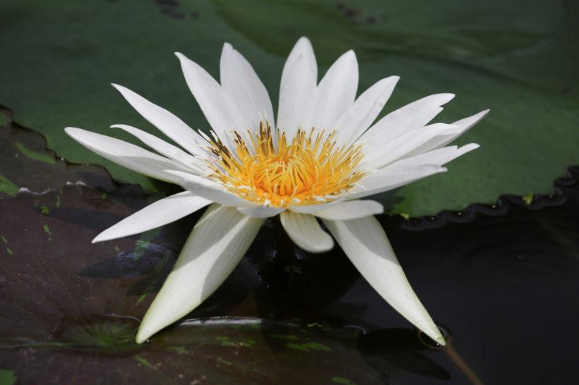 お寺の蓮の花